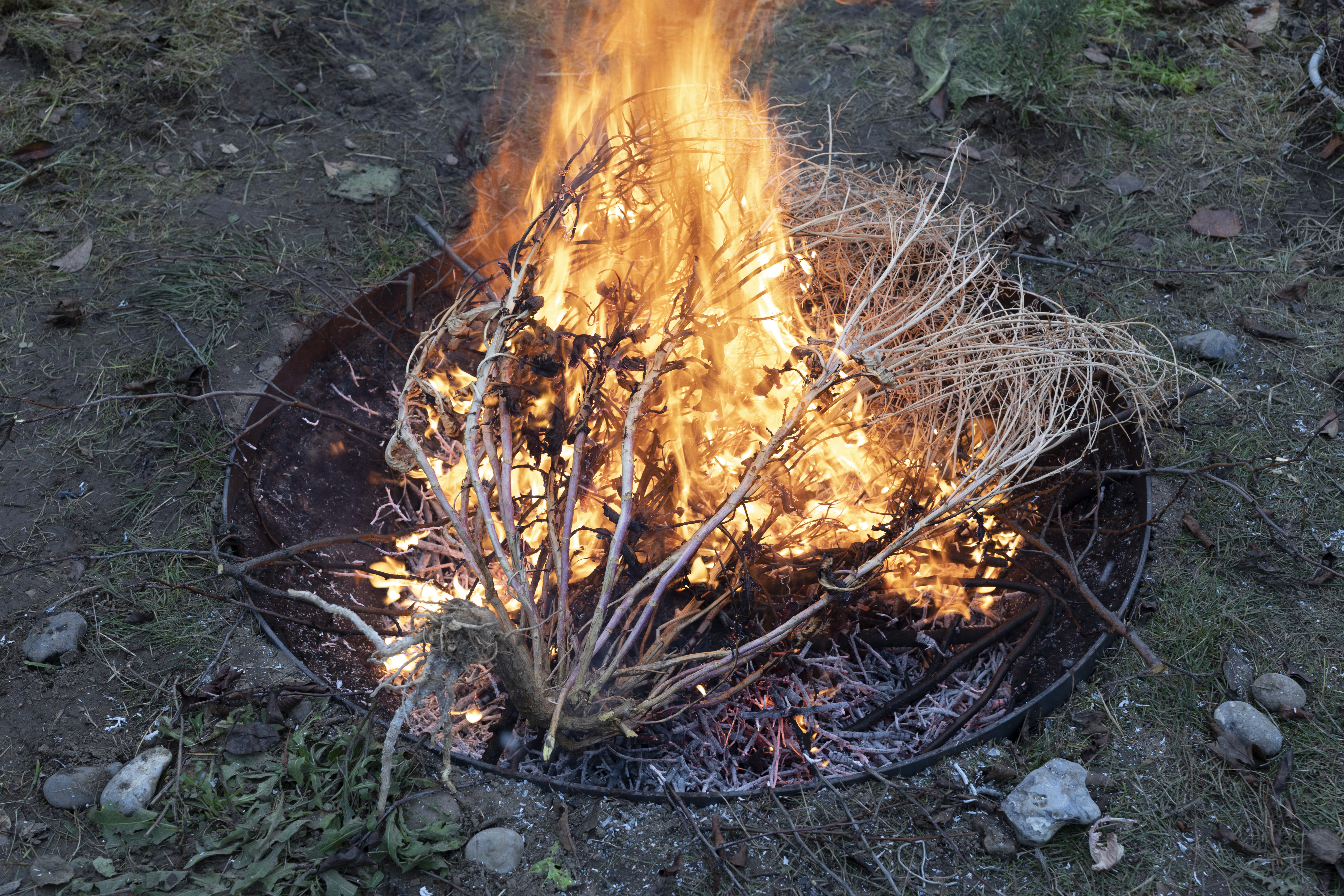 Burning-of-a-dried-broccoli-plant-carrying-seeds-from-Feed-The-Organism-Happening-©Viktoria-Sophie-Conzelmann